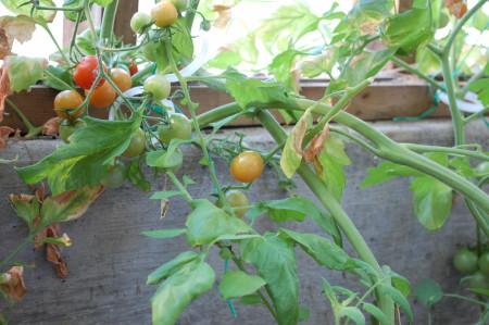 עגבניות מאדימות בחממה