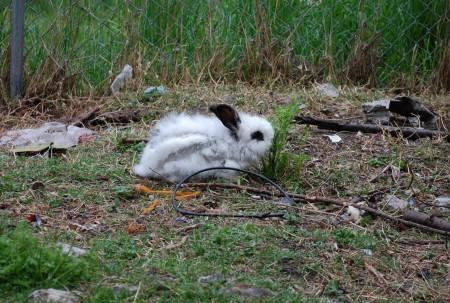 ארנבון חופשי