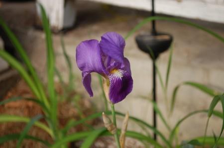purple2-iris