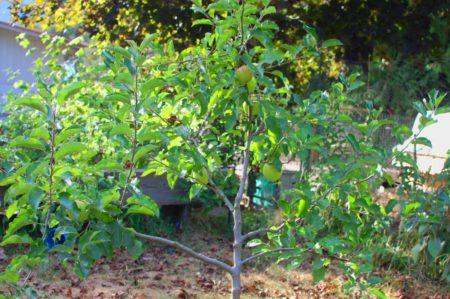 עץ התפוחים הצעיר קיבל השנה רשות מסוזן להצמיח 8 פירות. הם גדולים וגדלים.