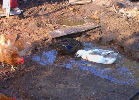 יובל החליט להפניק את הברווזים וחפר להם בריכה. מסתבר שזה לא רק מים שהם אוהבים, זה גם הבוץ.