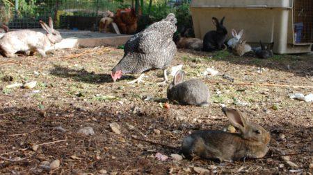 החצר שאינה חצר המטילות היא החצר בה יש תרנגולות לבשר וארנבות שאלה מופעים מתוקים של חלבון.